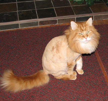 Click here - cats with lion haircuts